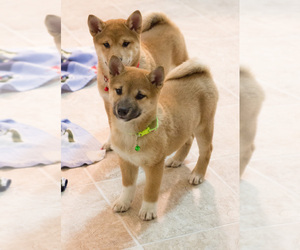 Shiba Inu Puppy for sale in MILWAUKEE, WI, USA