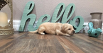 Golden Retriever Puppy For Sale in PRYOR, OK