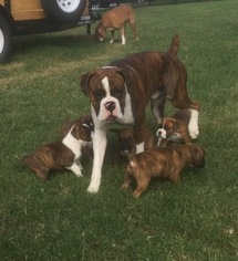 Boxer Puppy For Sale in SUMMERFIELD, NC, USA