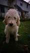 Goldendoodle Puppy For Sale in ABINGTON, PA, USA