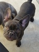 French Bulldog Puppy For Sale in INGLEWOOD, CA, USA