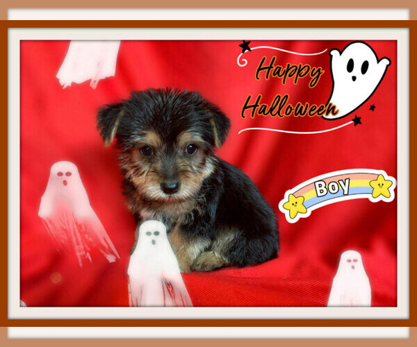 Medium Photo #1 Maltese-Morkie Mix Puppy For Sale in SAN FRANCISCO, CA, USA