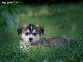 View Ad Border Collie Siberian Husky Mix Puppy For Sale Indiana