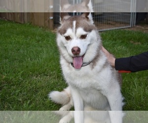 Siberian Husky Dog for Adoption in GRAYSON, Louisiana USA