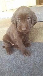 Pudel Pointer Puppy For Sale in WISCONSIN DELLS, WI