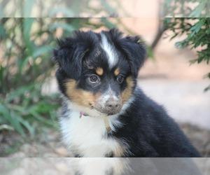 Miniature Australian Shepherd Puppy for Sale in KNOTTSVILLE, Kentucky USA