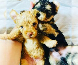 Yorkshire Terrier Puppy for sale in LA SIERRA, CA, USA