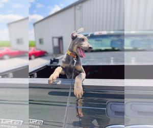 Doberman Pinscher Puppy for sale in LITITZ, PA, USA