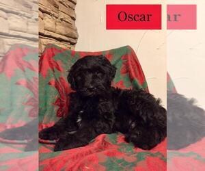 Labradoodle Puppy for Sale in HALIFAX, Pennsylvania USA