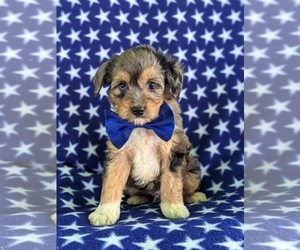 Australian Shepherd-Poodle (Miniature) Mix Puppy for sale in CHRISTIANA, PA, USA