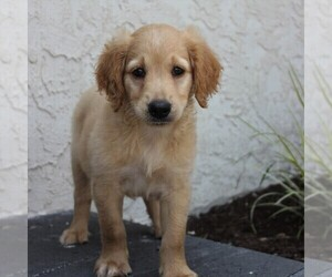 Goldendoodle-Poodle (Miniature) Mix Puppy for sale in HONEY BROOK, PA, USA