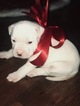 American Bulldog Puppy For Sale in BERYL, Arkansas,