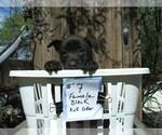 Puppy 5 Dutch Shepherd Dog