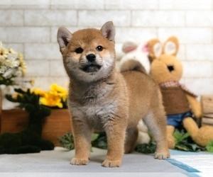 Shiba Inu Puppy for sale in NEWARK, DE, USA