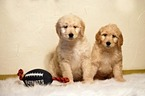 Goldendoodle Puppy For Sale in WEST BROOKFIELD, MA, USA