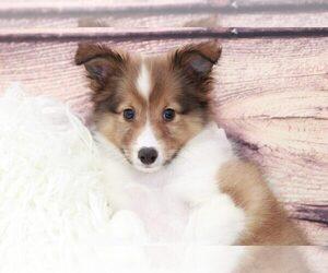 Shetland Sheepdog Puppy for sale in MARIETTA, GA, USA
