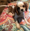 Cavalier King Charles Spaniel Puppy For Sale in COLOGNE, VA, USA
