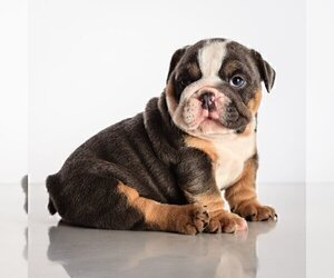 Bulldog Puppy for sale in AUSTIN, TX, USA