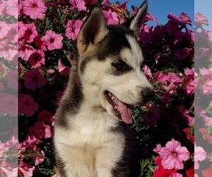 Siberian Husky Puppy for sale in NEWAYGO, MI, USA