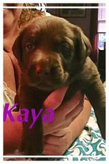 Labrador Retriever Puppy For Sale in RUSSELLVILLE, KY