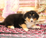 Small Bernese Mountain Dog-Collie Mix