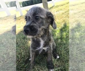 Neapolitan Mastiff-Poodle (Miniature) Mix Dog for Adoption in GOSHEN, Indiana USA