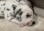 Dalmatian Puppy For Sale in CAMBRIA, VA, USA