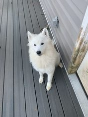 Samoyed Puppy For Sale in ARLINGTON, MD, USA