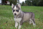 Siberian Husky Puppy For Sale in CHILLICOTHE, Ohio,