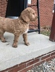 Goldendoodle Puppy For Sale in SHELBY, OH, USA