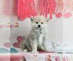 Puppy 3 Pomeranian-Pomsky Mix