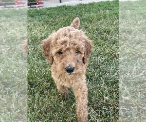 Poodle (Standard) Puppy for sale in DUNCOMBE, IA, USA