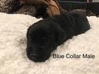 Labrador Retriever Puppy For Sale in INEZ, TX, USA