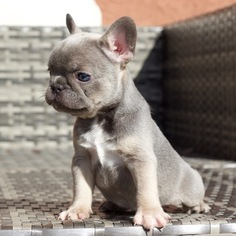 French Bulldog Puppy for sale in YORBA LINDA, CA, USA