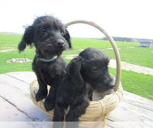 Dachshund Puppy for sale in HUDSON, MI, USA