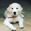 Golden Retriever Puppy For Sale in HOUSTON, TX,