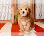 Small Photo #3 Goldendoodle Puppy For Sale in NAPLES, FL, USA