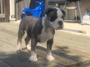 Olde English Bulldogge Puppy For Sale in BUDA, TX