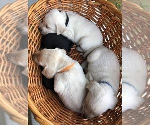 Labrador Retriever Puppy for Sale in CLEVELAND, Georgia USA