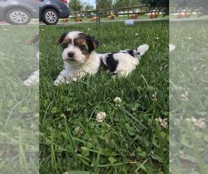 Biewer Terrier Puppy for Sale in EPHRATA, Pennsylvania USA
