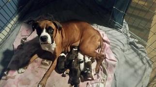 Boxer Puppy for sale in STOCKTON, CA, USA