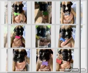 Boxer Puppy for sale in BANNER, IL, USA