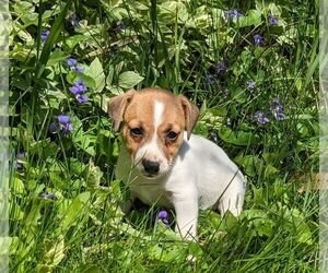 Jack Russell Terrier Puppy for sale in SANDOWN, NH, USA