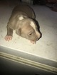 American Pit Bull Terrier Puppy For Sale in EAST ORANGE, NJ,