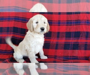 Goldendoodle Puppy for Sale in WOOSTER, Ohio USA