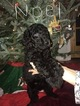 Small Photo #10 Poodle (Standard) Puppy For Sale in TRYON, NC, USA
