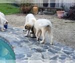 Small #844 Anatolian Shepherd-Maremma Sheepdog Mix