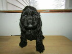Cocker Spaniel Puppy For Sale in HUDSON, MI, USA