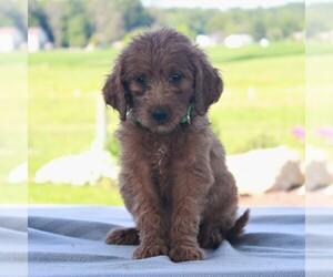 Goldendoodle-Poodle (Standard) Mix Dog for Adoption in HONEY BROOK, Pennsylvania USA