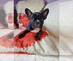 Image preview for Ad Listing. Nickname: Frenchies